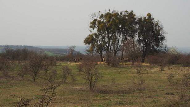 Koniks - Wildpferde
