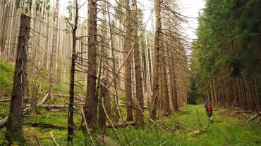 Borkenkäferbefall im Harz