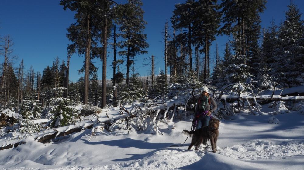 Früher dichter Fichtenwald - heute sonniger Blick bis zum Brocken - bei Oderbrück