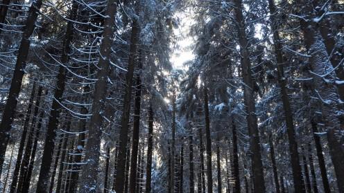 Fichtenwald im Harz