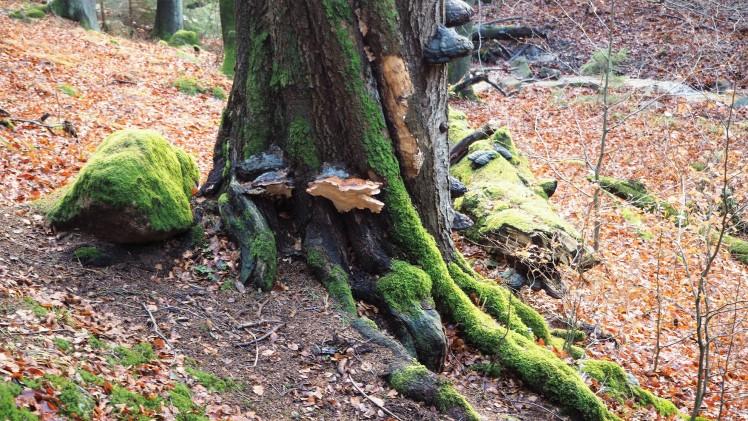 Lebendiger toter Baum - der Ranger zeigt uns, wo neues Leben entsteht