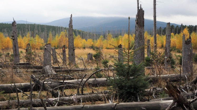 Tote Fichten - Laubbäume wachsen nach - Blick auf den Brocken nur durch Wolken verdeckt