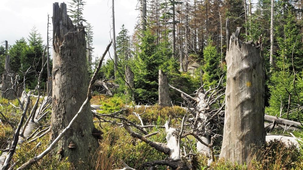 Urwald Harz