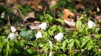 weiße Frühlingsblumen
