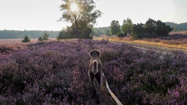 Lüneburger Heide mit Hund (2)
